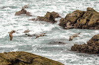 Brown pelicans and crashing waves