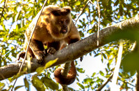 Black-striped tufted capuchin monkey