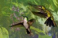 Female green-crowned brilliant and Andean emerald hummingbirds