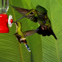 Green-crowned brilliant and black-bellied thorntail hummingbirds