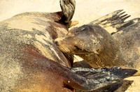 Nursing Galapagos sea lion