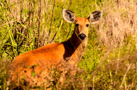 Female marsh deer