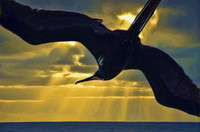 Magnificent frigate bird at sunrise