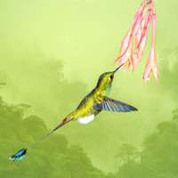 Booted raquet-tail hummingbird