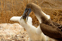 Blue-footed booby feeding its chick