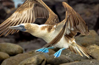 Female blue-footed booby taking off