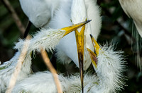 Feeding time at the great egret nest