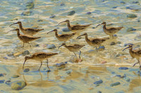 Whimbrels foraging at the tide line