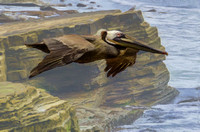 Brown Pelican along the Pacific coast