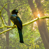 Male Black-headed trogon #1