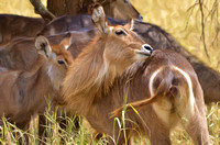 Female waterbucks