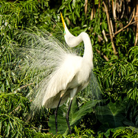 Displaying male great egret